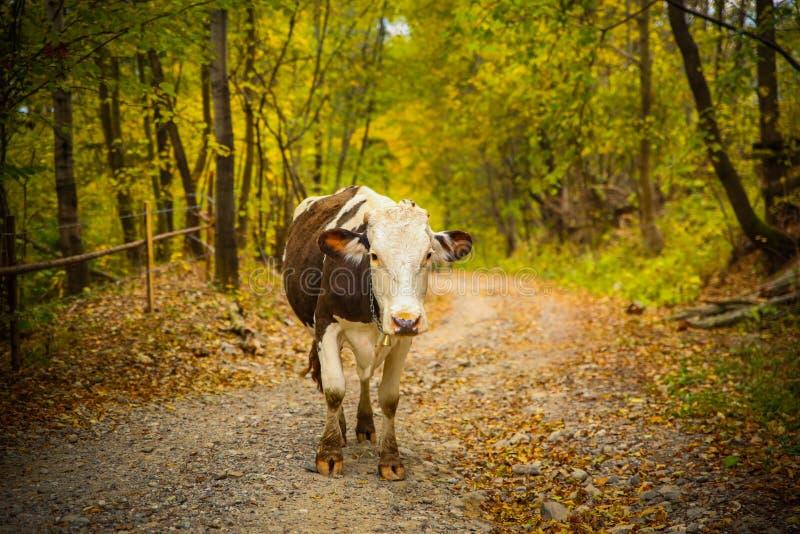 Portret krowa na wiejskiej drodze w Bucovina zdjęcie royalty free