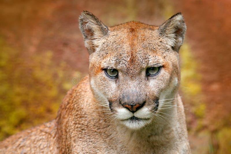 Portret kuguar Niebezpieczeństwo kuguara obsiadanie w zielonym lasowym Dużym dzikim kocie w natury siedlisku Pumy concolor, znać  obrazy royalty free
