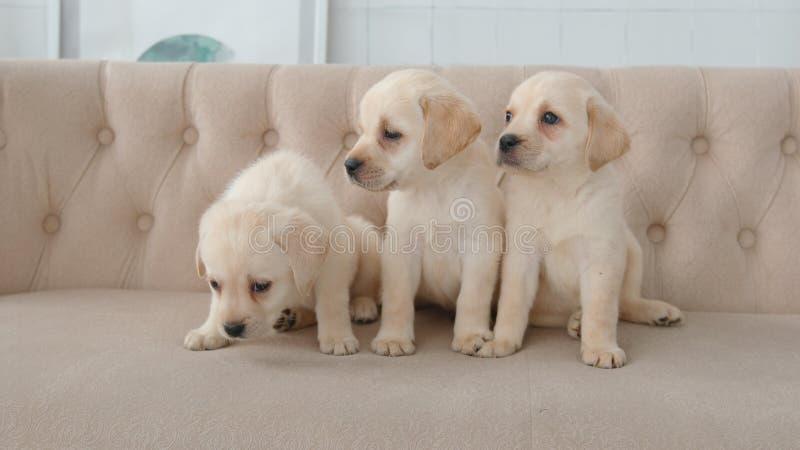 Portret labradorów szczeniaki na kanapie zdjęcia stock
