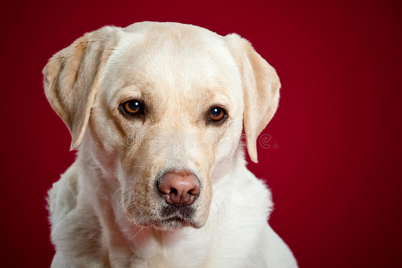 Portret labradora aporter obraz royalty free