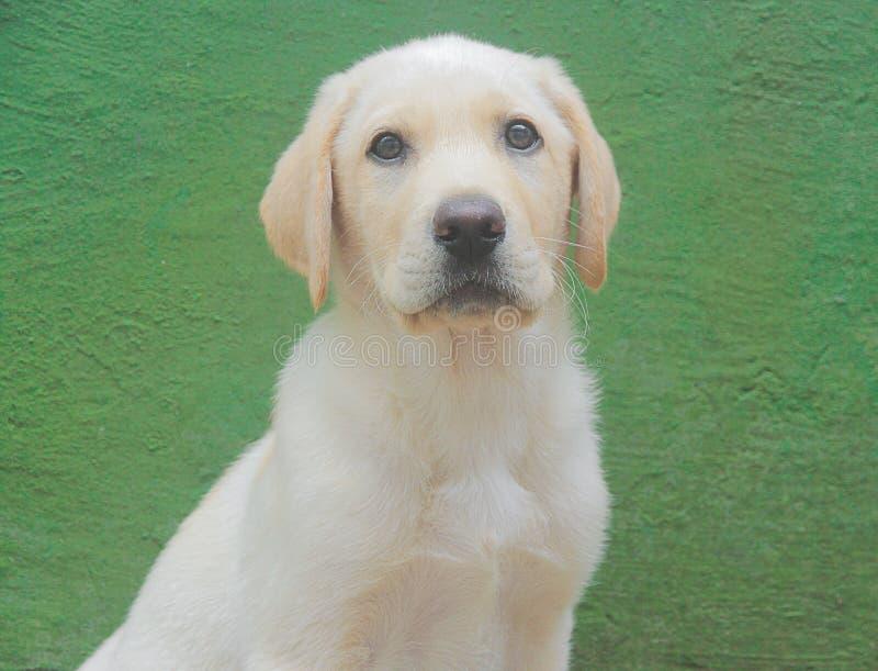 Portret labradora pies zdjęcie stock