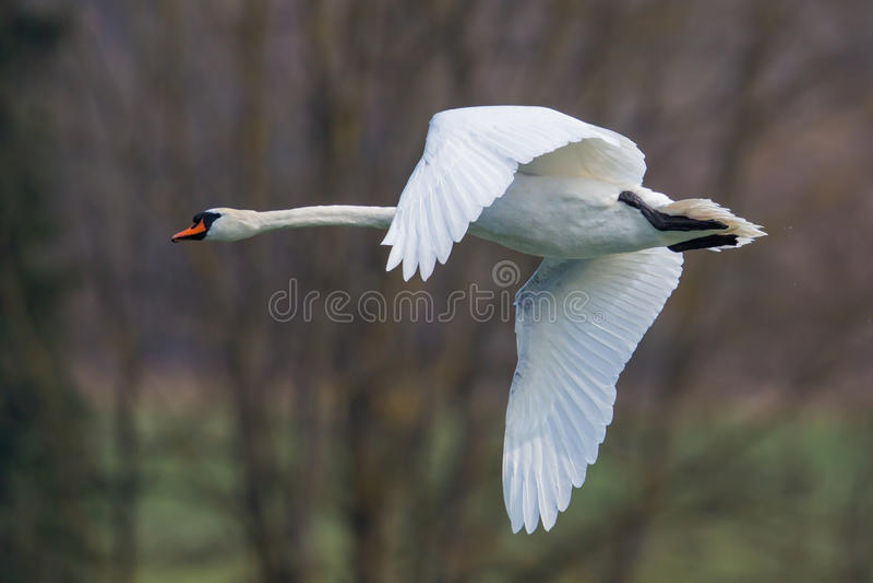 Portret latać niemego łabędź (Cygnus olor) obraz stock