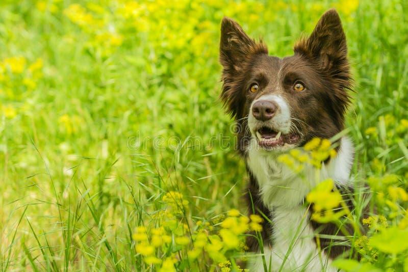 Portret ?liczny br?zu i bielu Border collie pies zdjęcie royalty free
