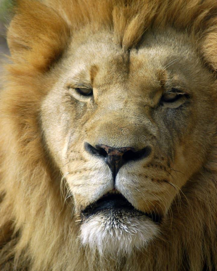 Download Portret lwa zdjęcie stock. Obraz złożonej z grzywa, africa - 32316
