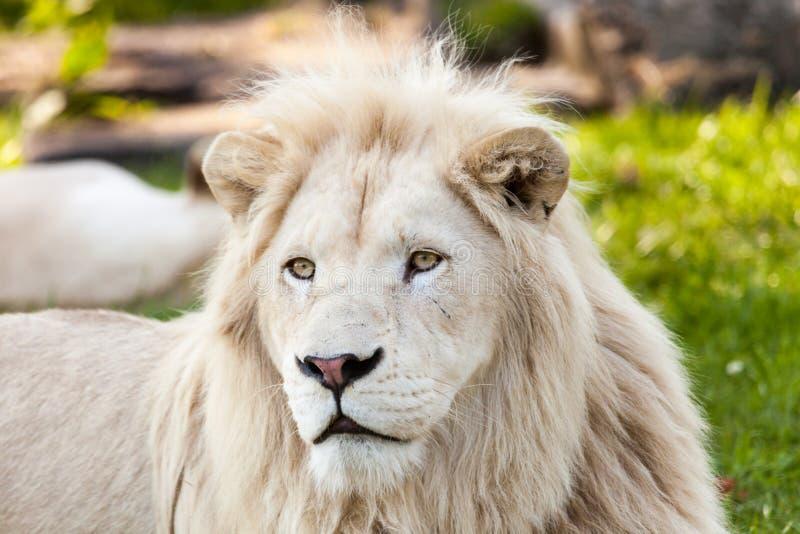 portret lwa zdjęcie stock
