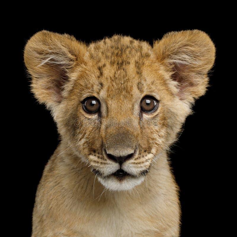 Portret lwa lisiątko obrazy royalty free