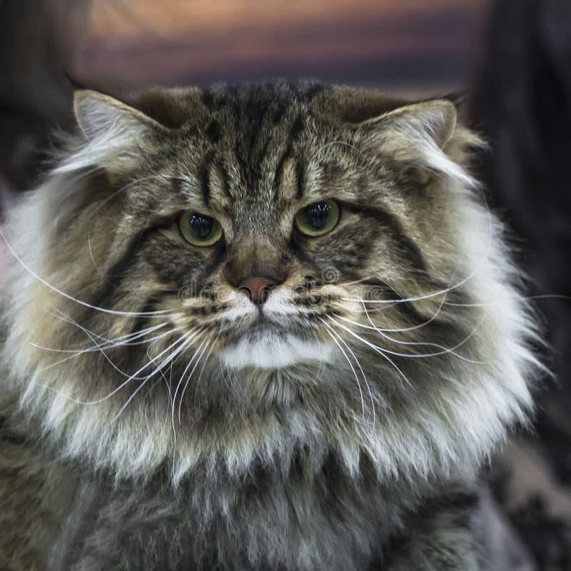 Portret mądrze puszysty siberian kot fotografia stock