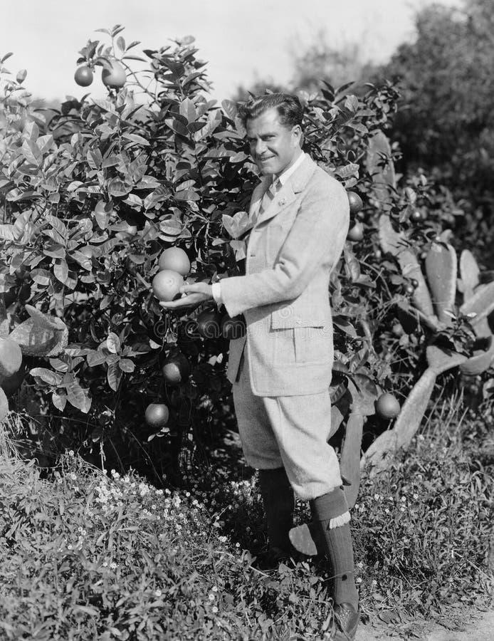 Portret mężczyzna zrywania pomarańcze (Wszystkie persons przedstawiający no są długiego utrzymania i żadny nieruchomość istnieje  fotografia royalty free