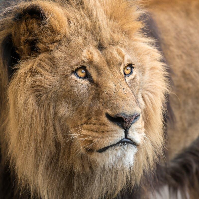 Portret męski lew w niewoli obrazy stock
