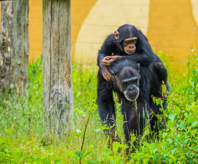 Portret młoda zachodniego szympansa jazda z tyłu dorosłego szympansa, krytycznie zagrażający zwierzęcy specie od Africa zdjęcie stock