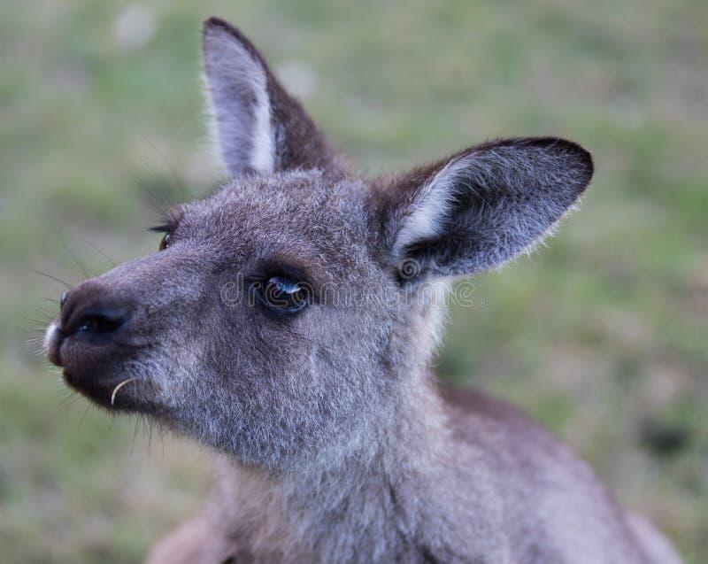 Portret młody śliczny australijski kangur z dużym jaskrawym brązem ono przygląda się Australia zdjęcia royalty free