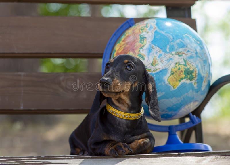Portret młody śliczny girdled jamnika pies i kula ziemska na tle Pojęcie lato podróż i turystyka obrazy stock