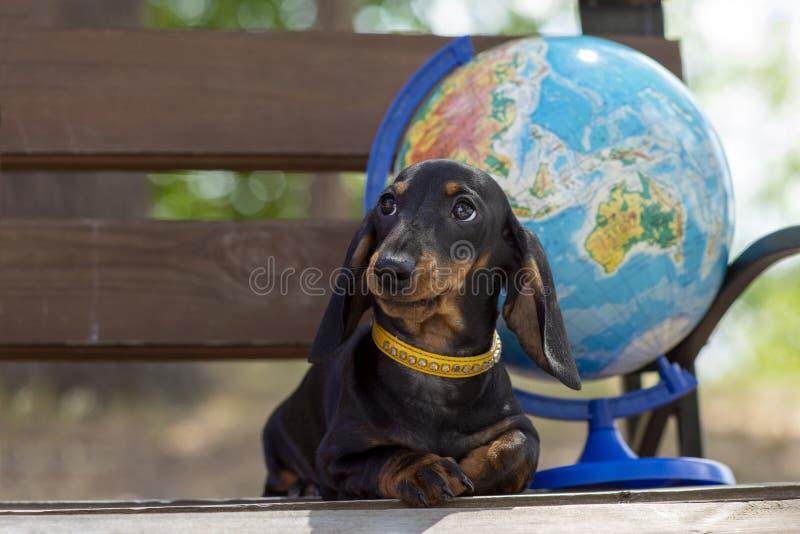 Portret młody śliczny psi Porsy jamnik i kula ziemska na tle w naturze Poj?cie turystyka i podr?? obrazy royalty free