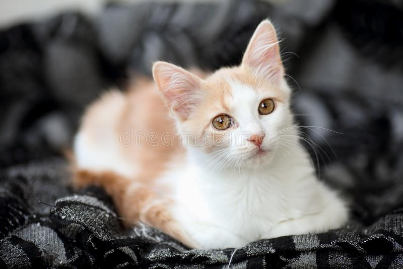 Portret młody biały i lekki imbirowy tabby kot z pięknym, pstrobarwnym groszakiem coloured, przygląda się odpoczywać w domu obrazy royalty free