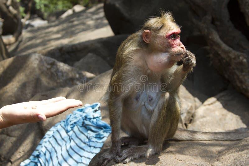 Portret młody makak bierze na jedzeniu z jego ręki India goa zdjęcia stock