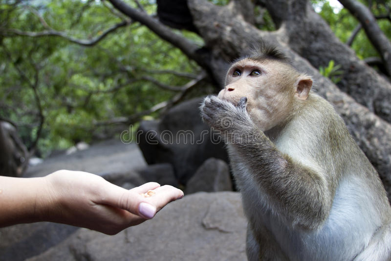 Portret młody makak bierze na jedzeniu z jego ręki India goa obrazy royalty free