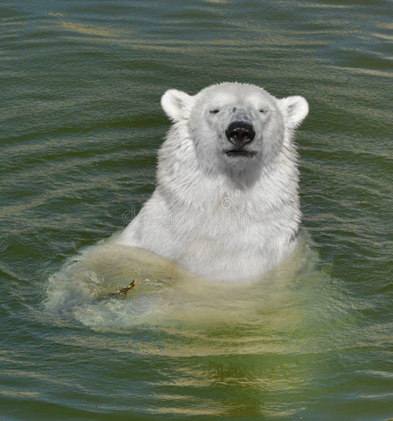 Portret młody niedźwiedź polarny w wodzie Fiński Lapland Lato obrazy royalty free