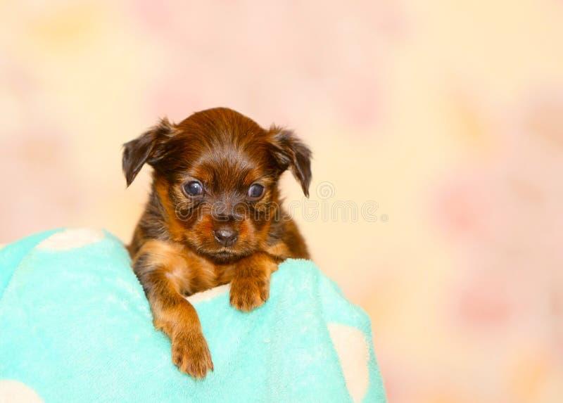 Portret mały szczeniak w górę zamazanego tła dalej fotografia royalty free