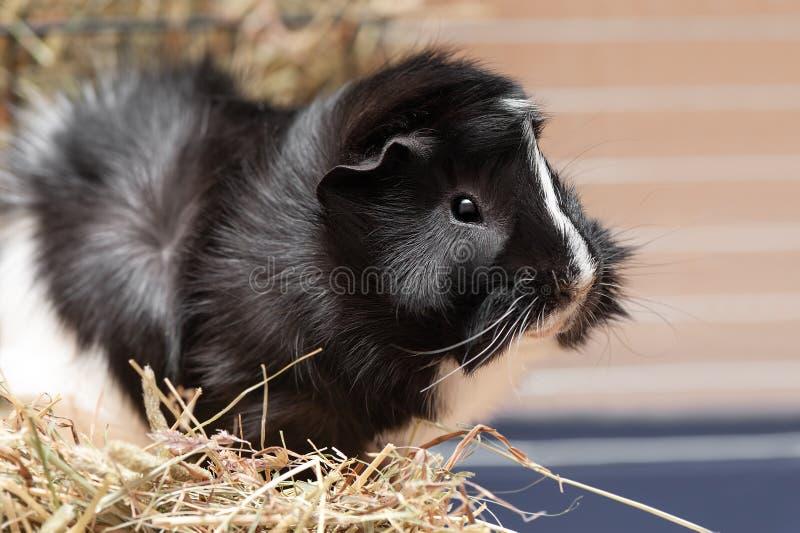 Portret mały czarny i biały królik doświadczalny obraz stock