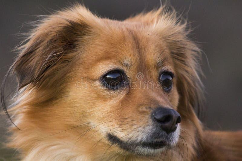 Portret mały puszysty pies zdjęcia royalty free