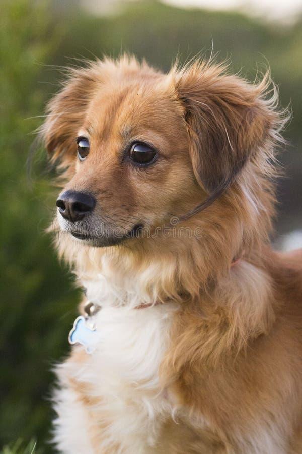 Portret mały puszysty pies obrazy royalty free