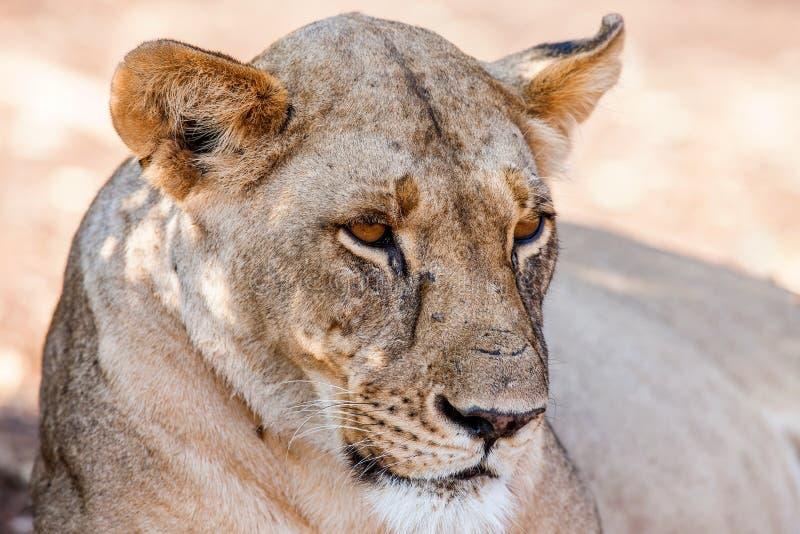 Portret majestatyczna lwica w naturze, Afryka obrazy royalty free