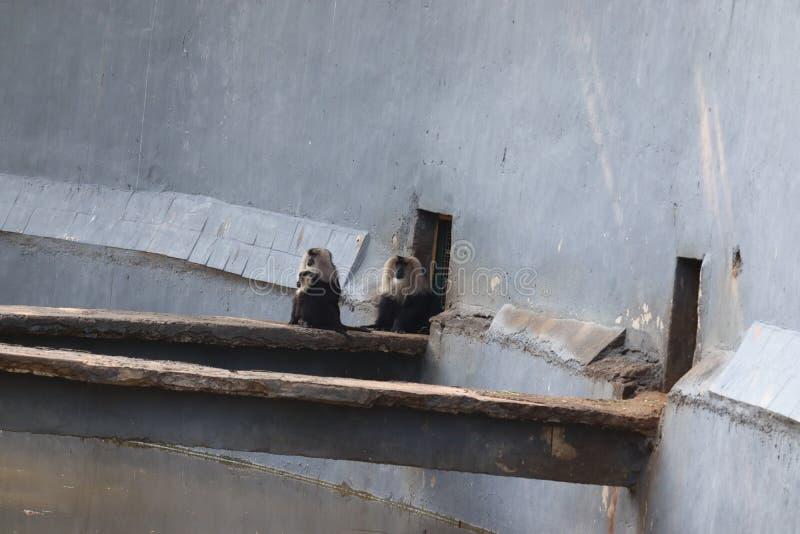 Portret Makaki lwowogonowej, Macaca silenus Zabawna małpa, twarzą w twarz. zdjęcie stock