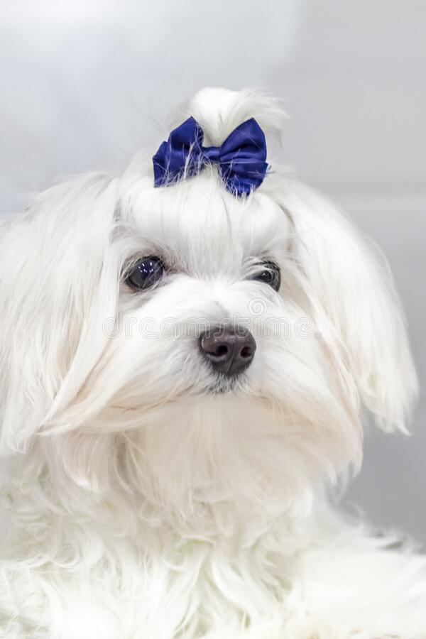 Portret Maltese lapdog met blauwe boog op zijn hoofd Afsluiten portret kleine witte hond met lang haar stock foto