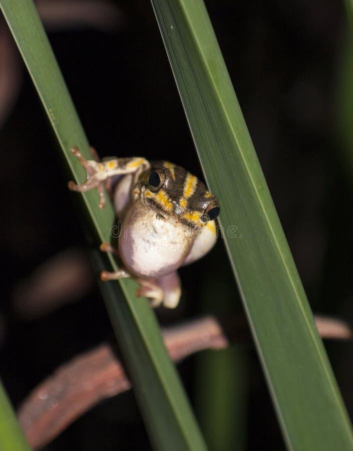 Portret maluję trzcinowy żaby dzwonić obrazy royalty free
