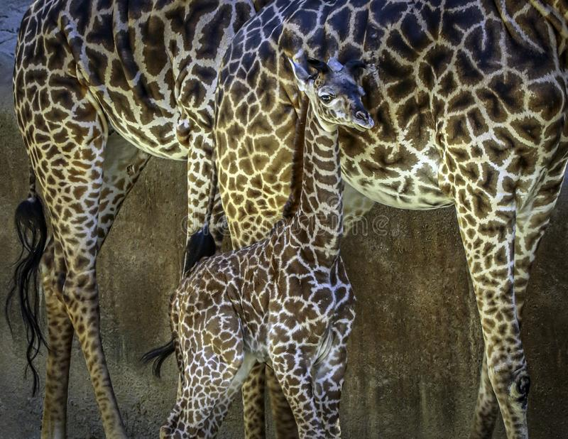 Portret Masai Giraffe obraz stock