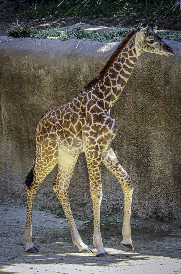 Portret Masai Giraffe zdjęcia royalty free