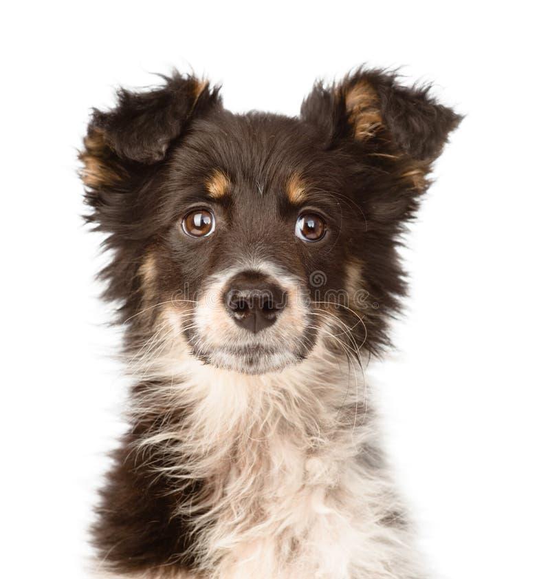 Portret mieszający trakenu pies pojedynczy białe tło zdjęcia royalty free