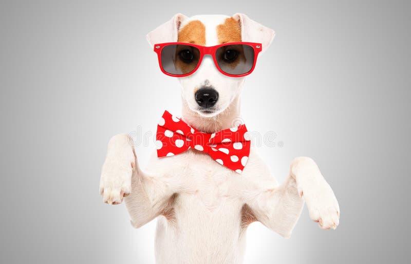 Portret ?mieszny psi Jack Russell Terrier w ??ku krawacie, okularach przeciws?onecznych i zdjęcia royalty free