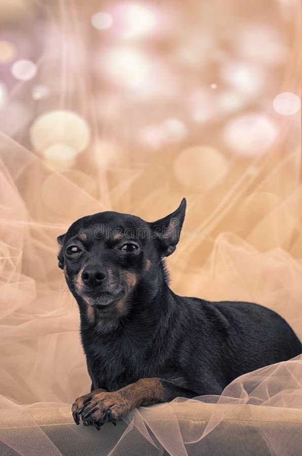 Portret miniaturowy pinscher, kolorowy tiul w tle fotografia stock