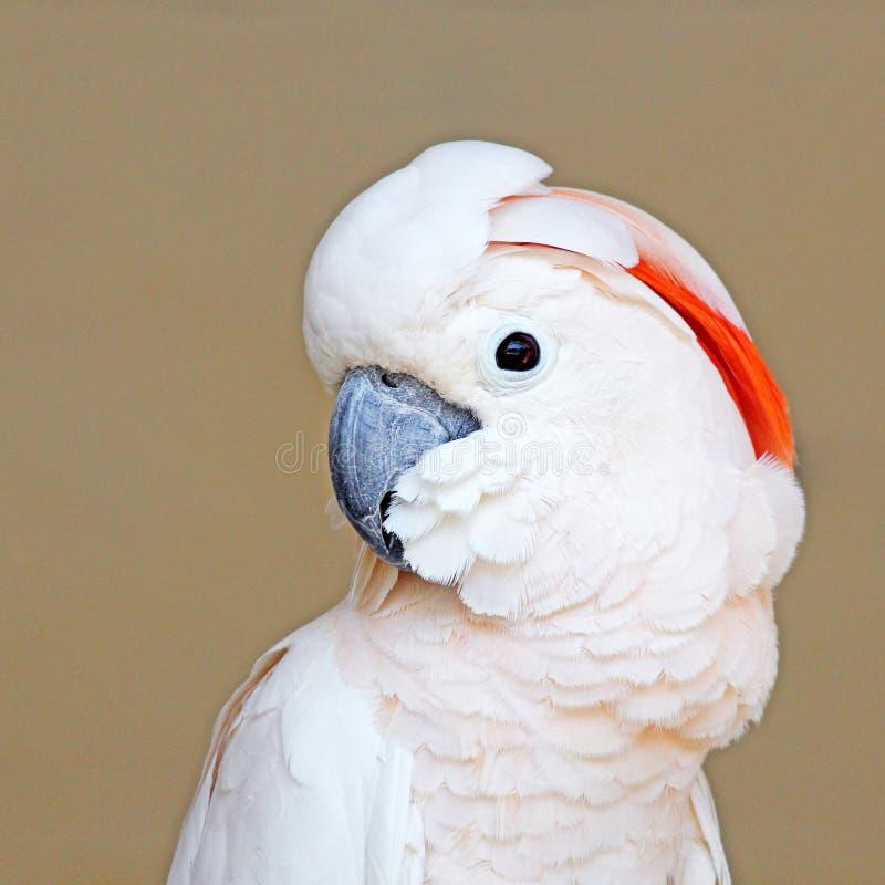 Portret Moluccan kakadu na jednolitym tle obraz royalty free