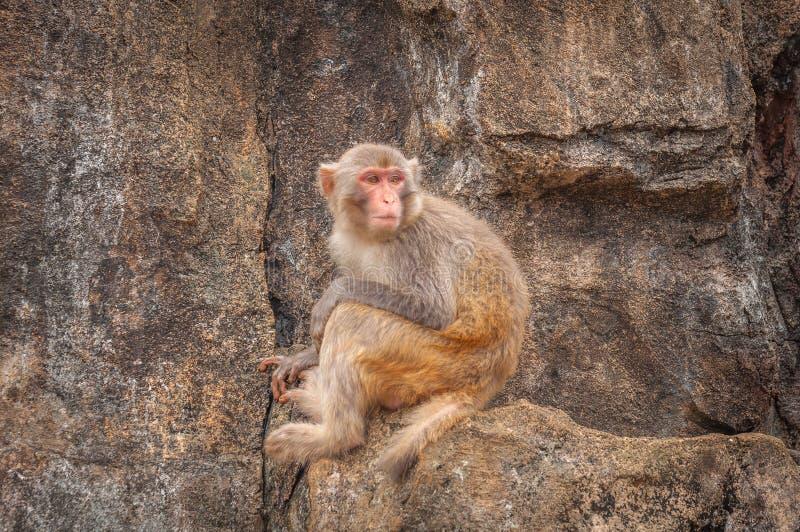 Portret nieśmiały makak siedzi skromnie na małym wypuscie na stromej kamień skale obrazy stock