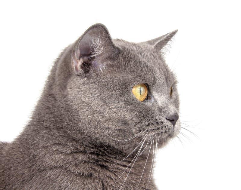 Portret niebieskiego szarego kota brytyjskiego wyizolowanego na białym fotografia royalty free