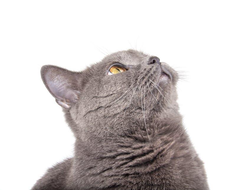 Portret niebieskiego szarego kota brytyjskiego wyizolowanego na białym zdjęcia stock
