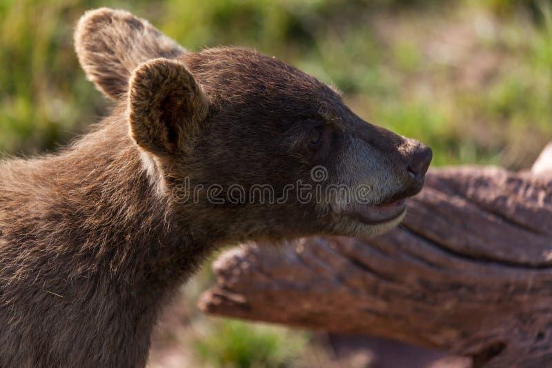 Portret niedźwiedzia dziecięcego zdjęcie stock