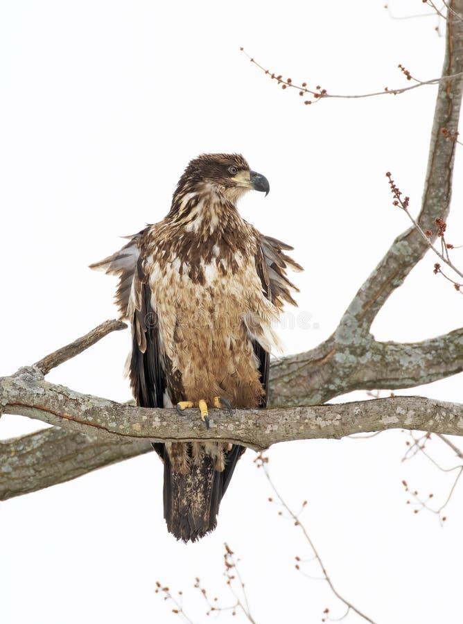 Portret Nieletni Amerykański łysego orła haliaeetus leucocephalus umieszczał w drzewie w Kanada fotografia royalty free