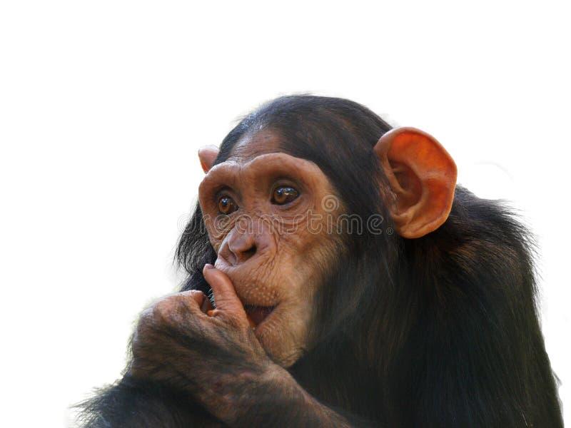 Portret odizolowywający na białym tle komiczny szympans obraz stock