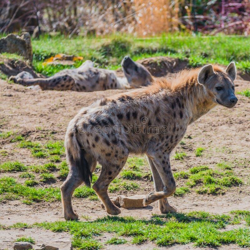 Portret ogromny i potężny afrykanin dostrzegał hieny fotografia stock