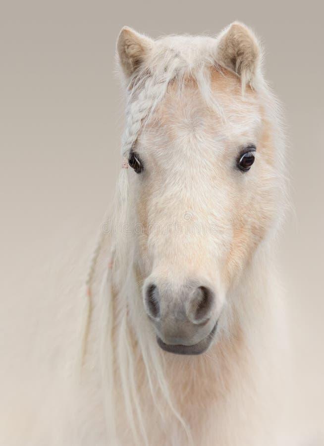 Portret palomino amerykanina miniatury koń na pastelowym tle obrazy royalty free