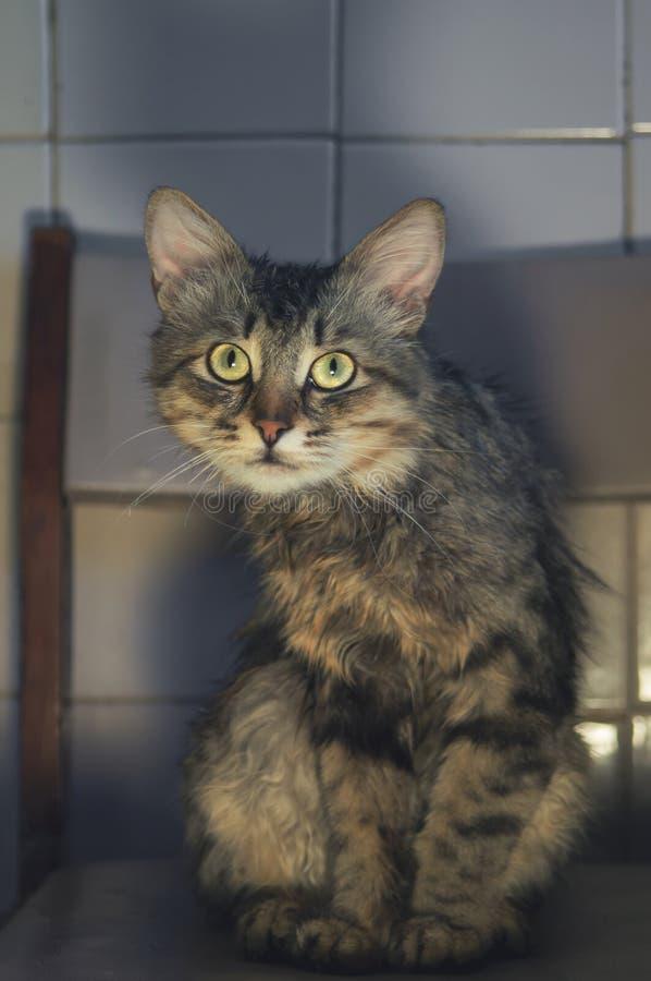 Portret pasiasty pedigreed piękny młody kota obsiadanie na patrzeć i krześle Dziki spojrzenie zbliżenie fotografia royalty free
