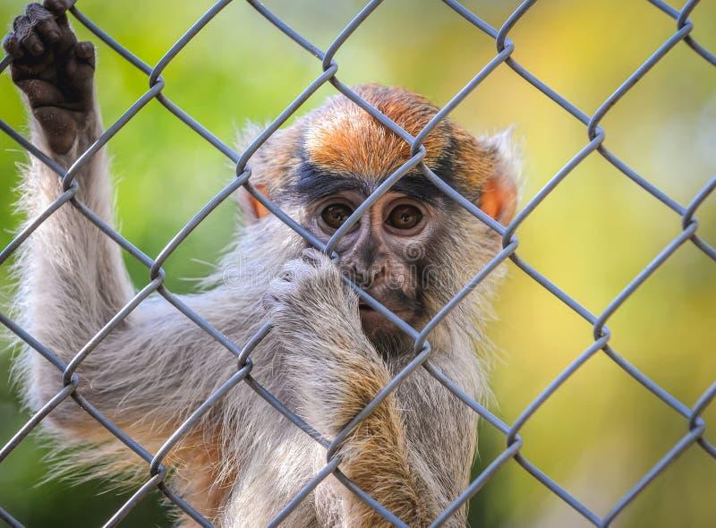 Portret patas małpa obrazy royalty free