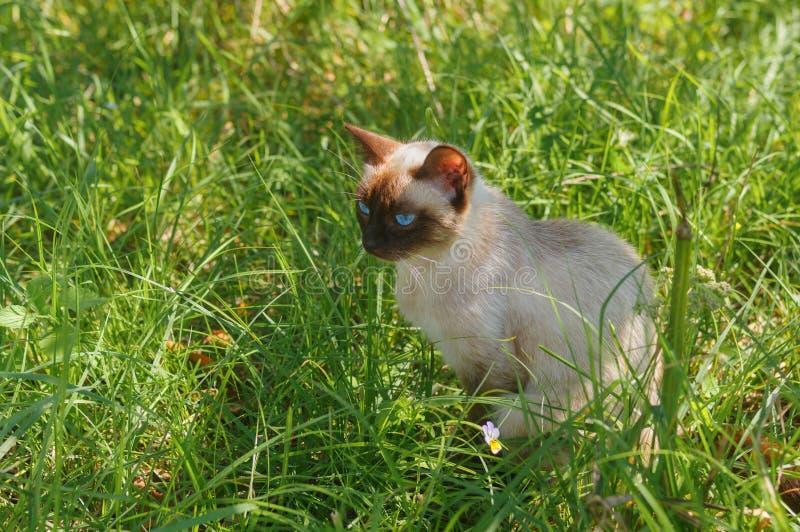 Portret pełen wdzięku Syjamskiego kota obsiadanie w lato trawie obrazy royalty free