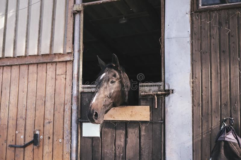 Portret piękna brown końska pozycja w niewywrotne stajenki zdjęcia royalty free