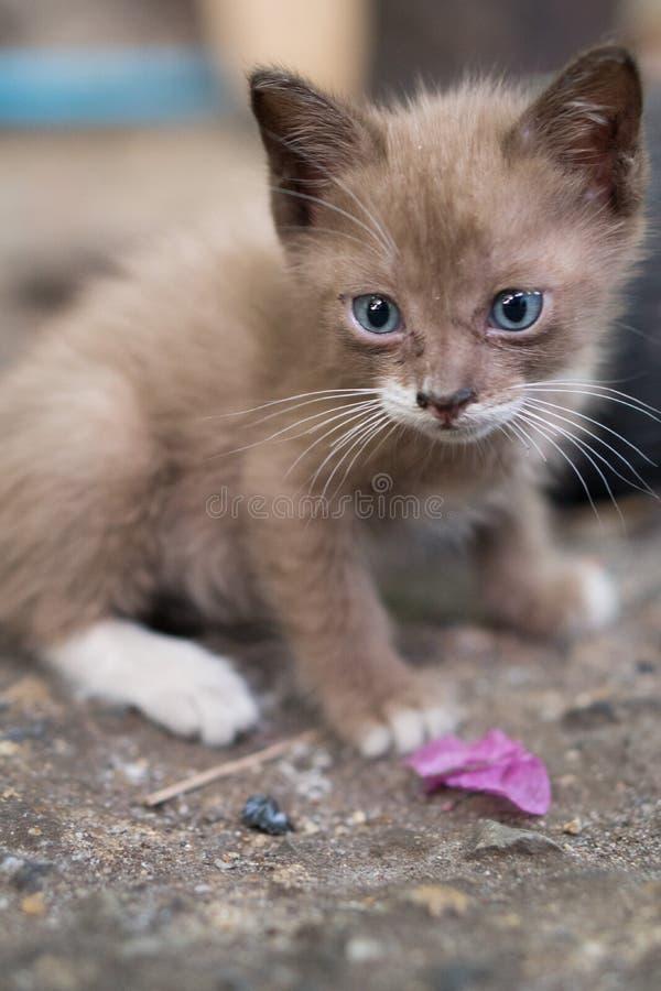Portret piękna kiciunia z niebieskimi oczami obraz stock
