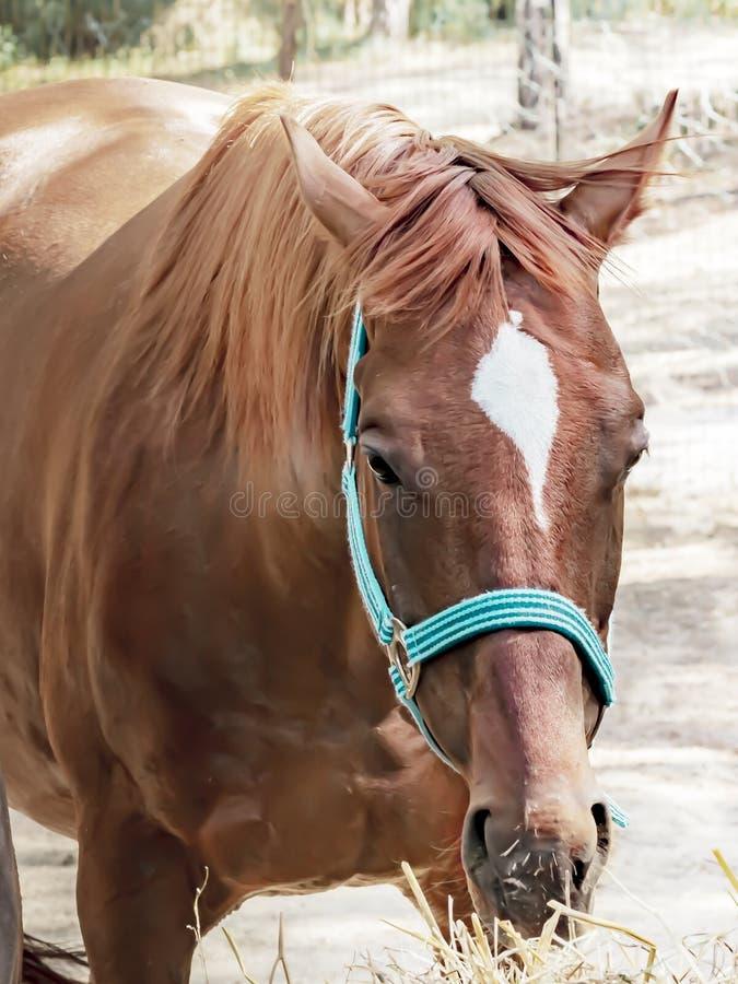 Portret pięknego lęgowego brązu kagana łasowania koński siano Karmi? je?dzieccy konie zdjęcia stock