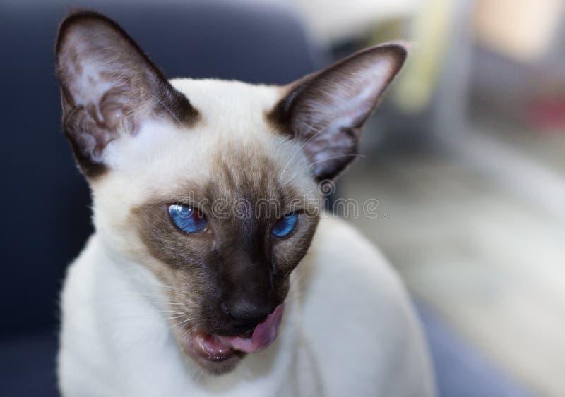 Portret pięknego niebieskie oko punktu orientalny kot zdjęcia stock
